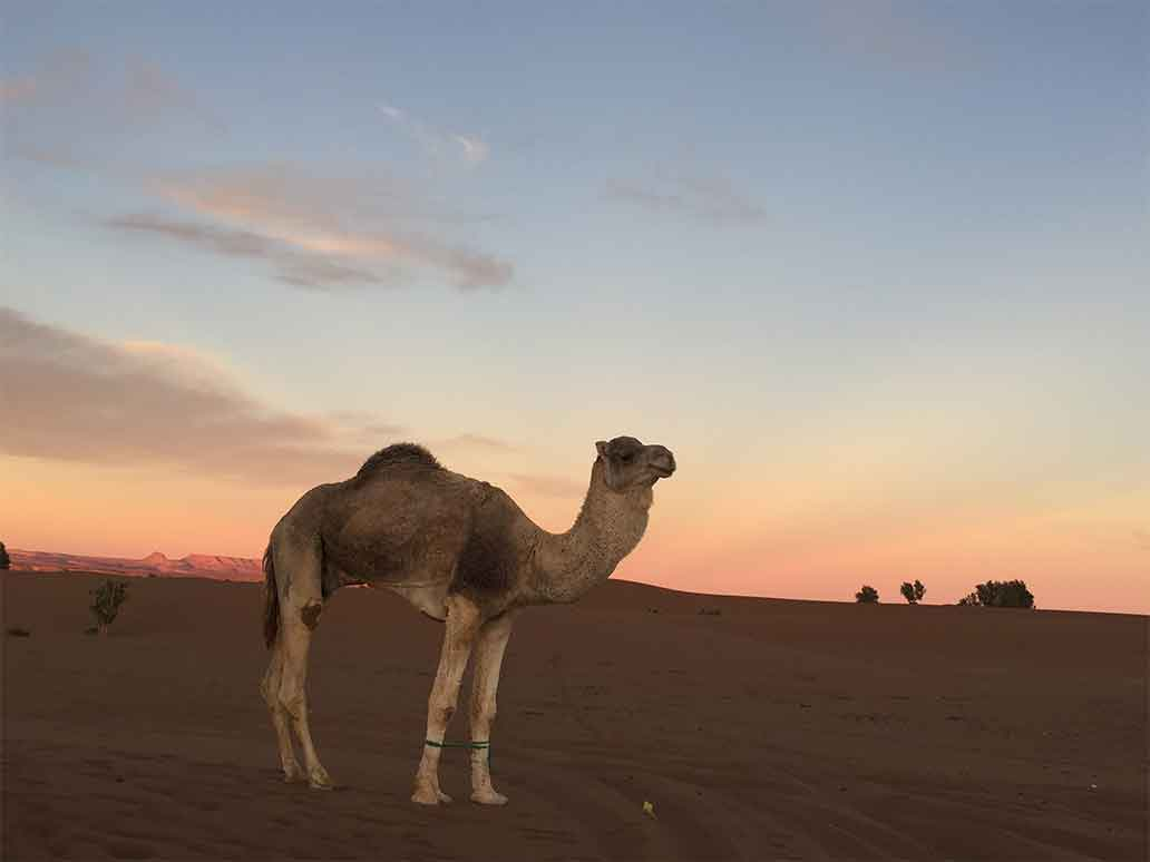 Camel in Morocco | Sahara Desert Tours