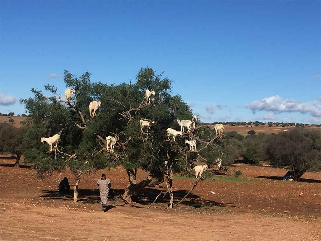 Goats in a Tree | Morocco